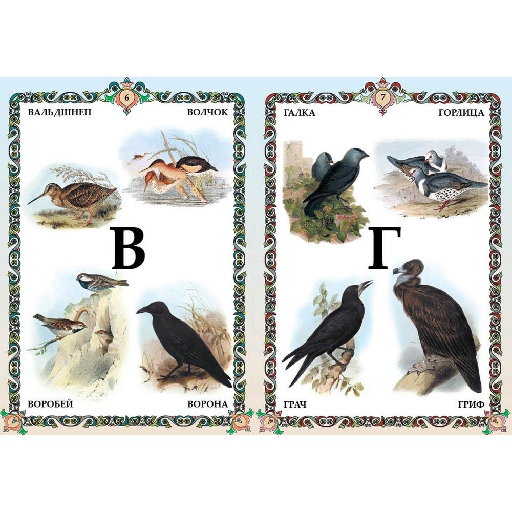 Птицы. Алфавит детский от А до Я