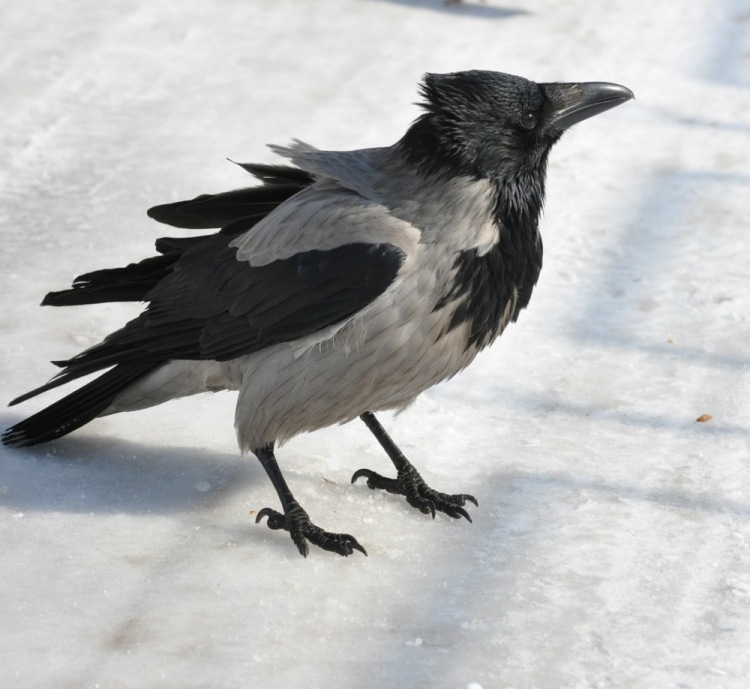 Стихи про ворону для детей