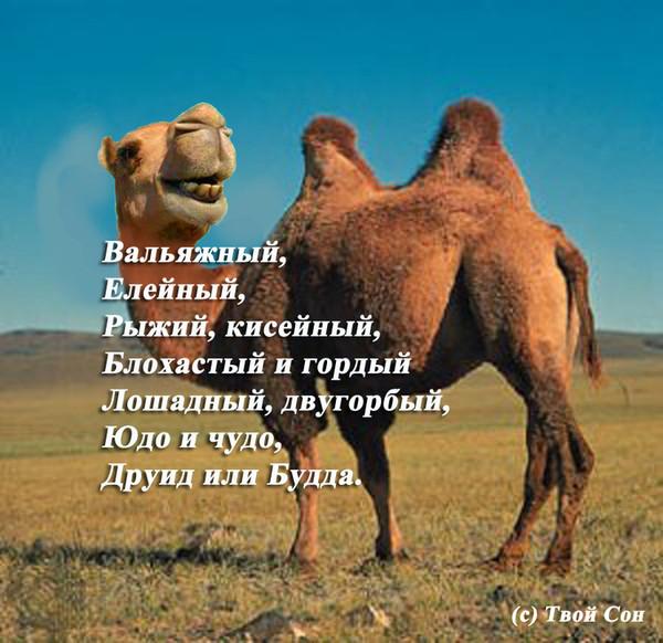 Стихи про верблюда